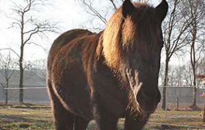 pony-paula-patentier02-300x191 Paula - Shetlandpony (TP002/17)