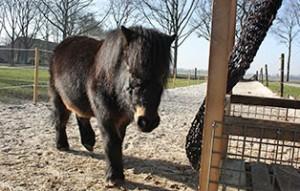 pony-paula-patentier03-300x191 Paula - Shetlandpony (TP002/17)