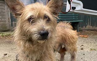 verwahrloster-hund-schlechter-zustand Scheidungsopfer Lilly, hat Diabetes - Hund in Not