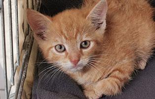 katzenbaby-sk46821-männlich Vier Katzenbabys aus dem Tierschutzliga-Dorf suchen Start-ins-Leben Paten