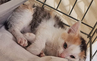 katzenbaby-sk47021-weiblich Vier Katzenbabys aus dem Tierschutzliga-Dorf suchen Start-ins-Leben Paten