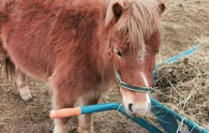 pony-lilly-bueckeburg-zuhause-gefunden-300x191 Zuhause gefunden
