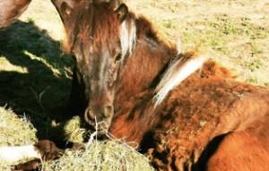 pony-pueppi-bueckeburg-zuhause-gefunden-300x191 Zuhause gefunden